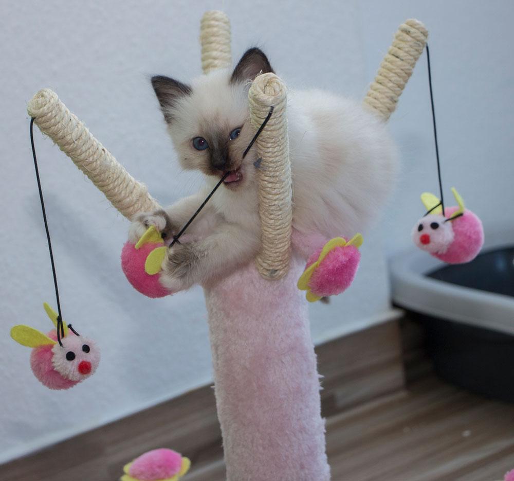 spielendes Katzenkind - Entwicklung Katze