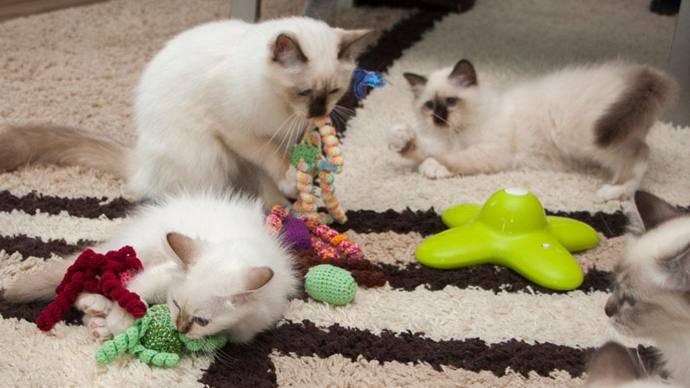 spielende Katzenkinder - Entwicklung Katze