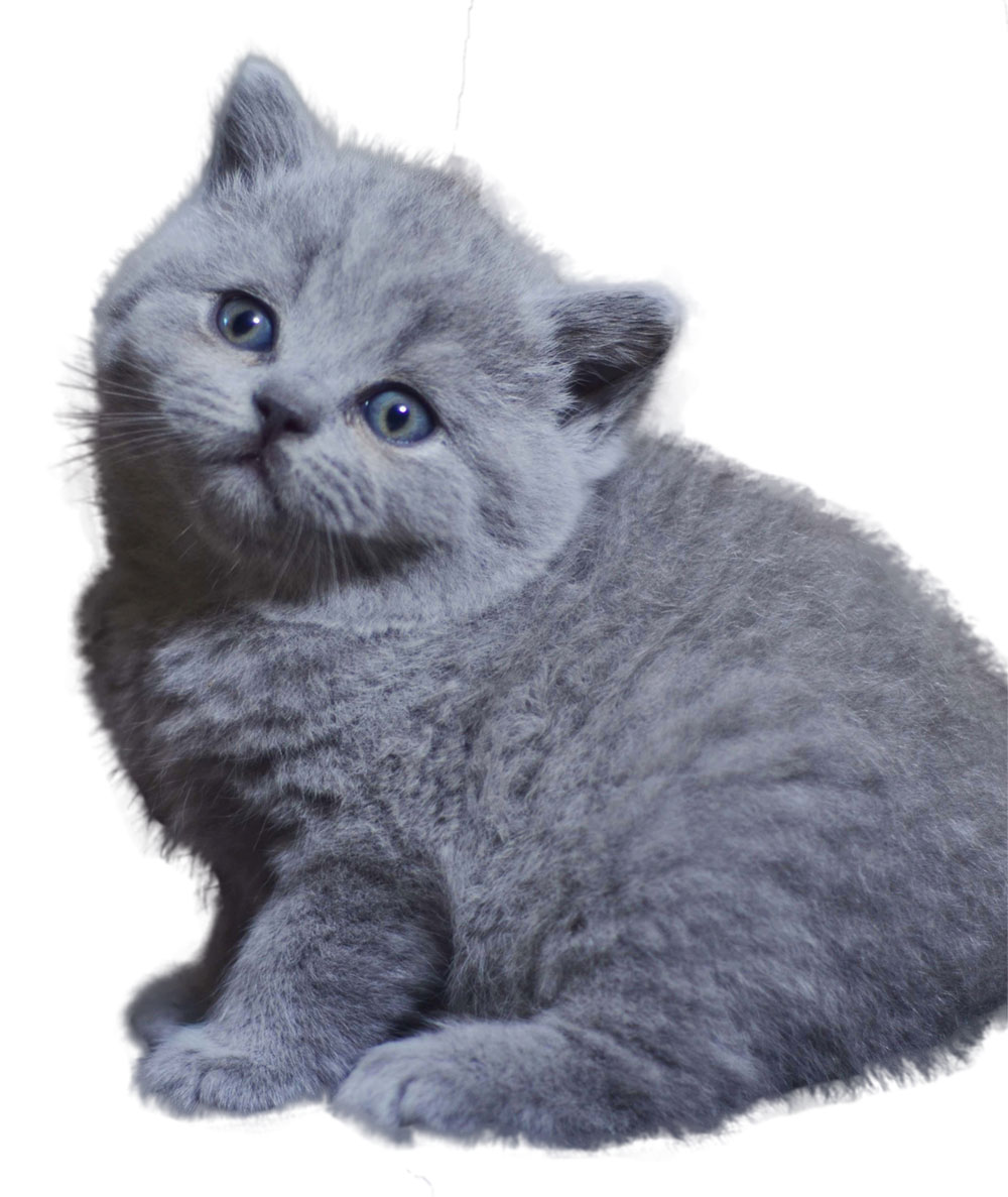 BKH-Kitten