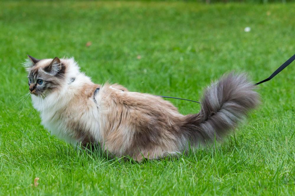 Katze an Geschirr und Leine, so lauern keine Gefahren im ungesicherten Freigang