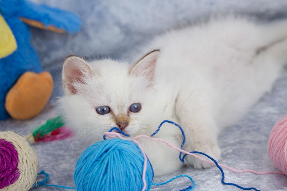 Katze spielt mit Wolle, Vorsicht, hier lauern Gefahren
